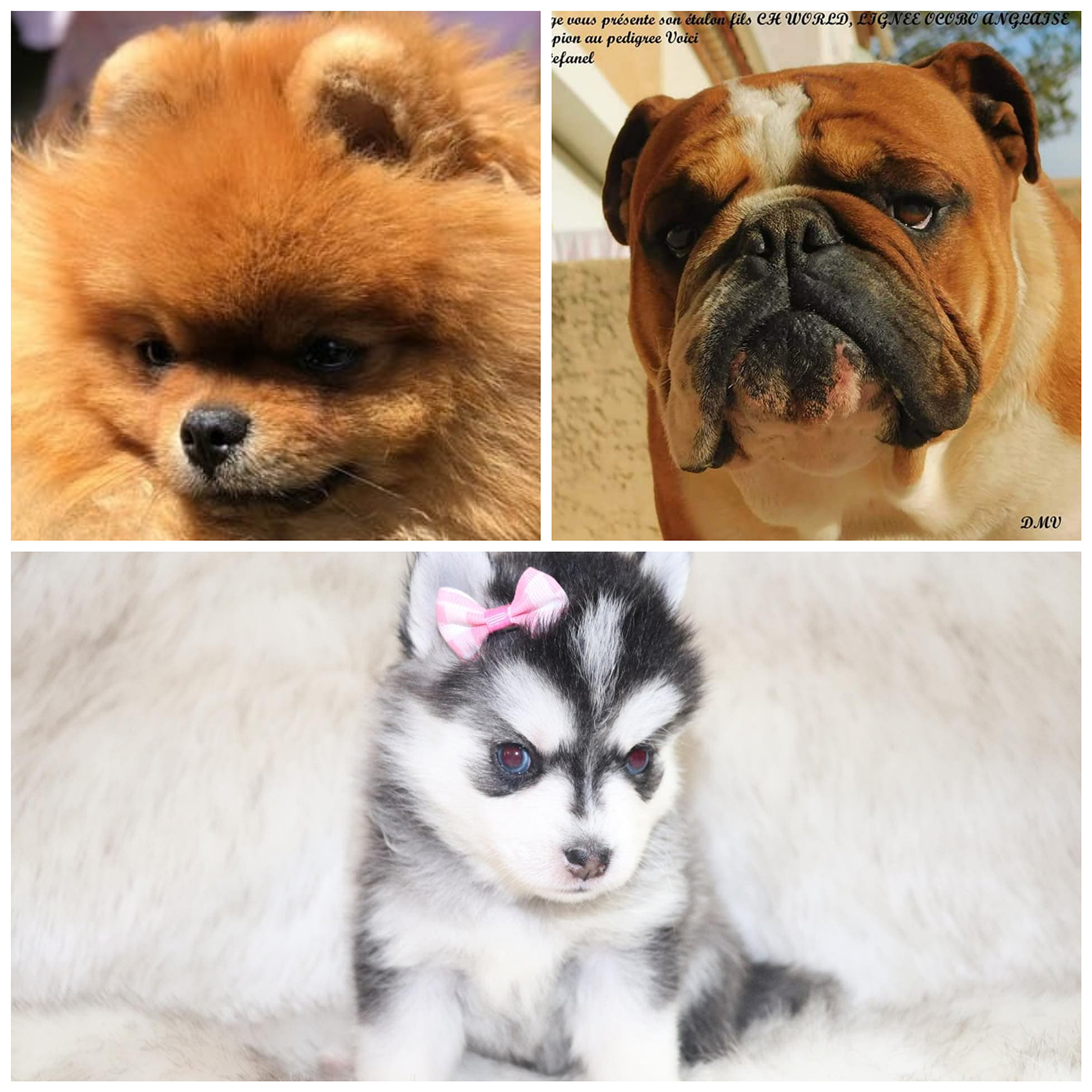 3 photos de chiens pure race