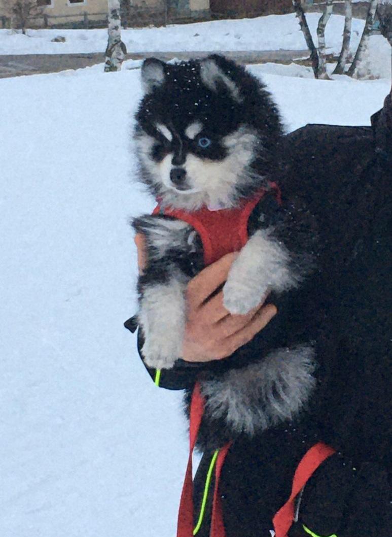 Laika 10 semaines à la neige (2)